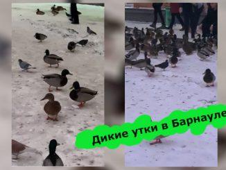 дикие утки в Барнауле фейк